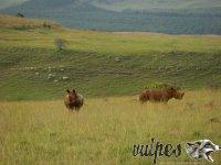 Nosorožce Južná Afrika
