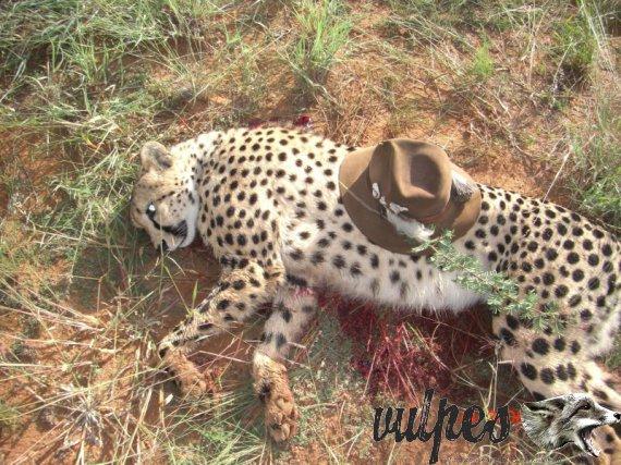 Poľovačka gepard