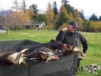 Poľovačka na kamzíky na Zélande